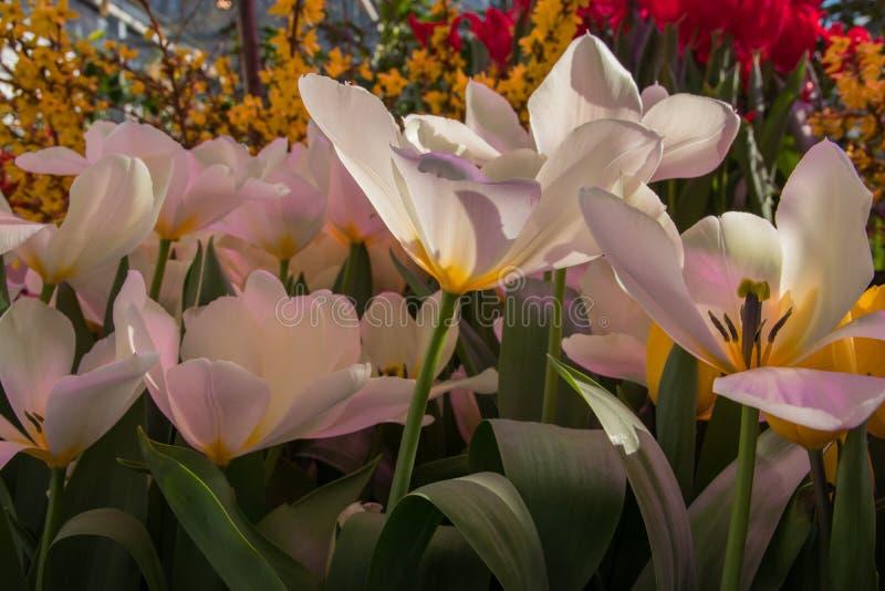 Contexto bonito do fundo com grupo de tulipas coloridas brilhantes no jardim Foco seletivo de luz natural foto de stock royalty free