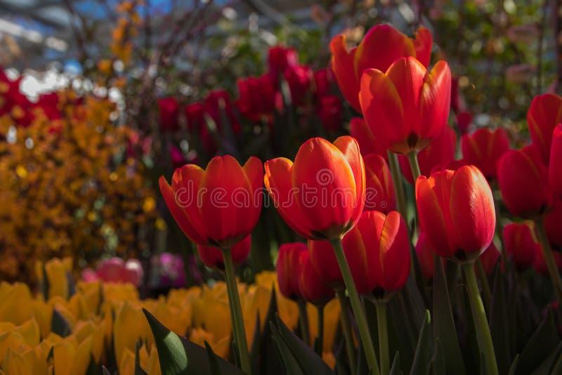 Contexto bonito do fundo com grupo de tulipas coloridas brilhantes no jardim Foco seletivo de luz natural imagem de stock royalty free