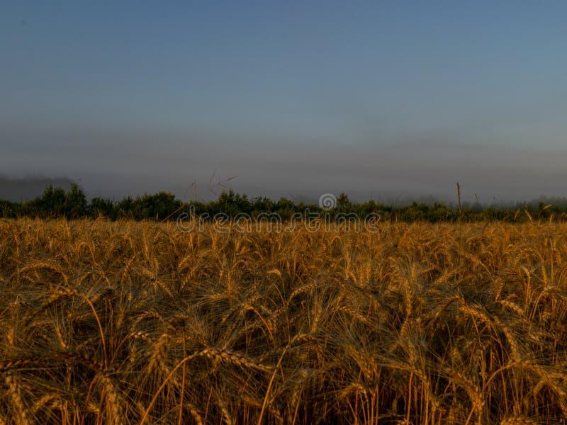 Contexto de oídos de maduración del campo de trigo amarillo en el fondo anaranjado del cielo de la salida del sol imagen de archivo libre de regalías