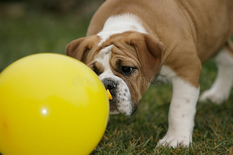 Continental bulldog puppy. Close-up of a playing young continental bulldog puppy with a balloon stock images