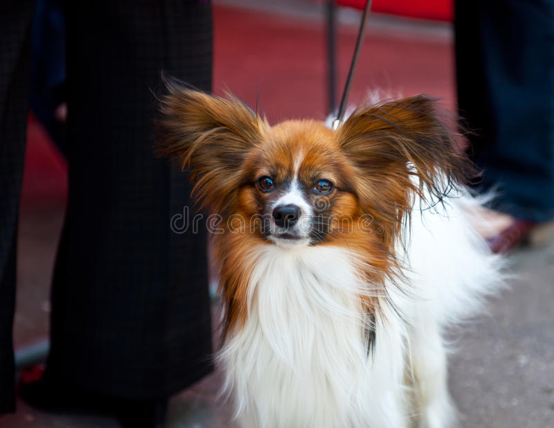 Continental Toy Spaniel stock photography