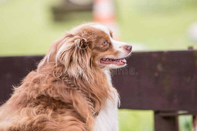 Continental Toy Spaniel dog living in belgium royalty free stock images
