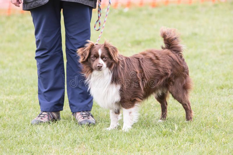 Continental Toy Spaniel dog living in belgium royalty free stock photos