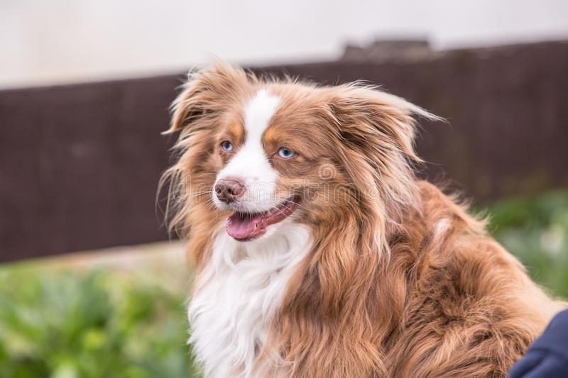 Continental Toy Spaniel dog royalty free stock photography