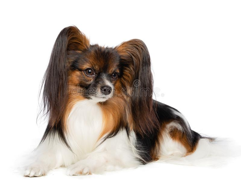Continental toy spaniel, papillon Dog Isolated on white Background stock photos