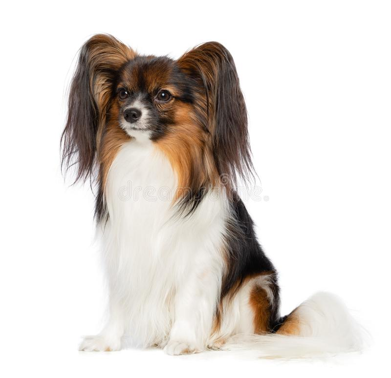 Continental toy spaniel, papillon Dog on white Background. In studio royalty free stock photography