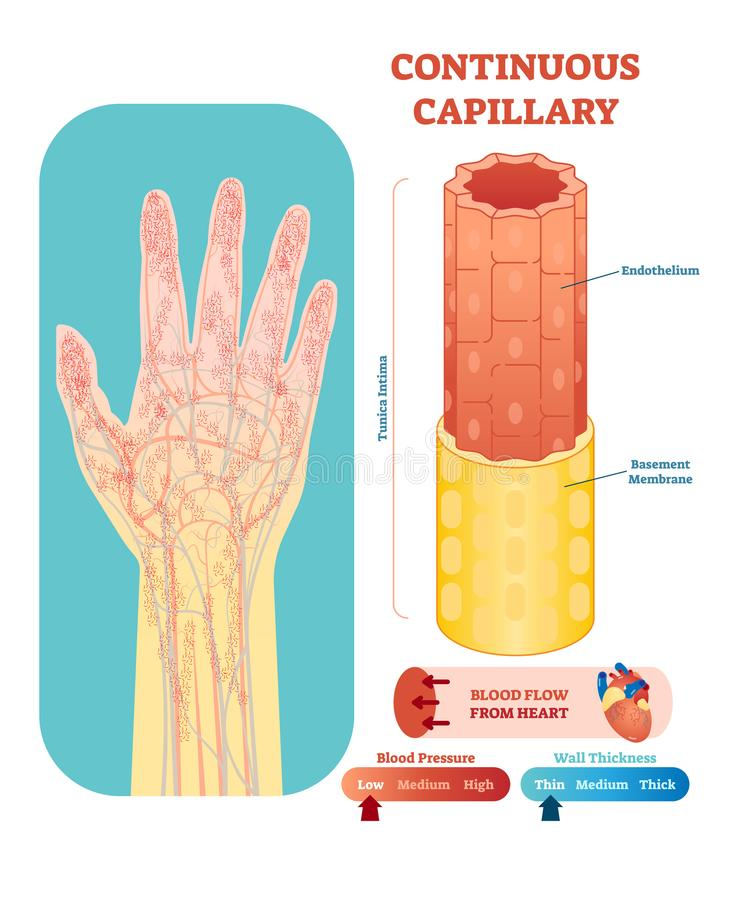 Continuous capillary anatomical vector illustration cross section. Circulatory system blood vessel diagram scheme. Continuous capillary anatomical vector stock illustration
