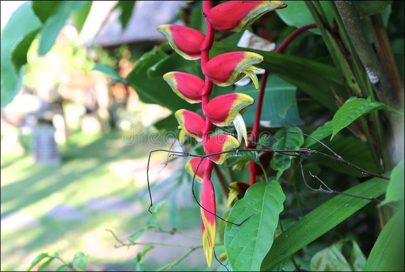 Continuously flowering high strellies and heliconia, having unusual, lower-looking, colossal flowers of yellow-red color, climbs royalty free stock image