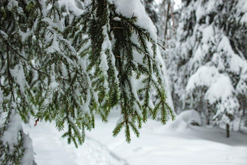 Conto de fadas branco - floresta do inverno e abeto vermelho do ramo fotos de stock royalty free