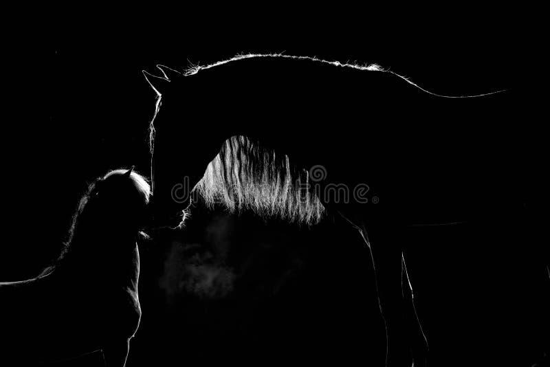 Contorno de dos caballos con la melena larga en un fondo negro con la iluminación trasera Semental y minipony andaluces imágenes de archivo libres de regalías