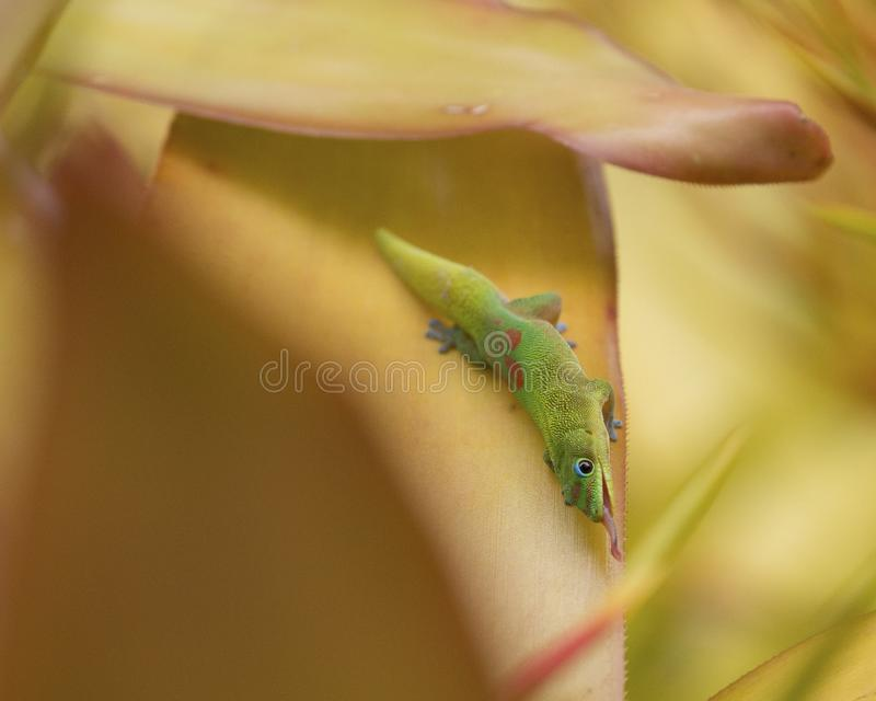 Hunger Dive. A  contorted Gold Dust Day gecko illustrating that it is sometimes necessary to leave one's comfort zone in order to eat stock photo
