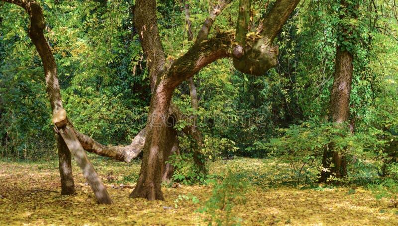 Autumn contorted tree at botanical garden royalty free stock photos