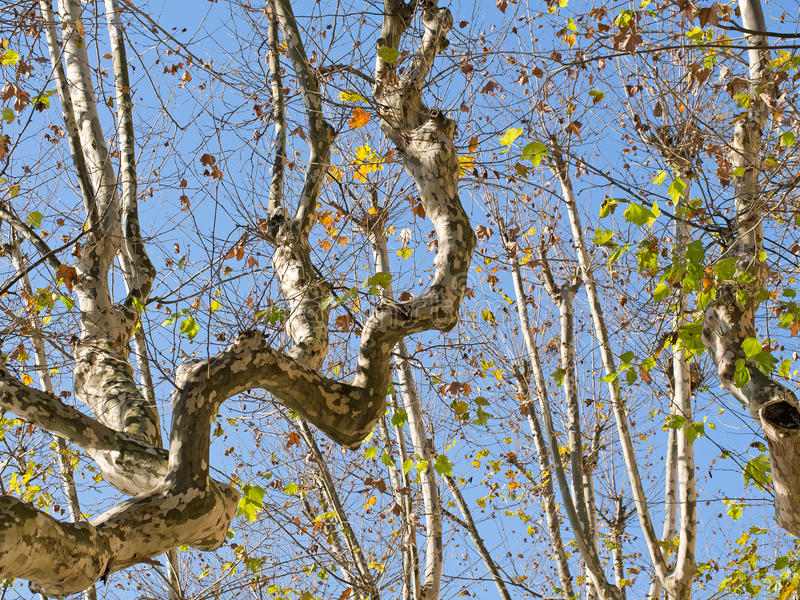 Contorted tree branches, plane trees, against sun. royalty free stock photos