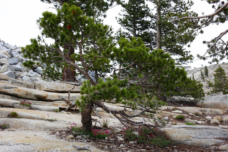 Contorted Tree - Yosemite royalty free stock images
