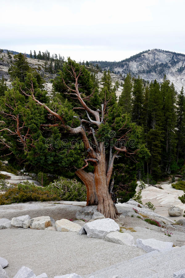 Contorted Tree in Yosemite National Park royalty free stock photography
