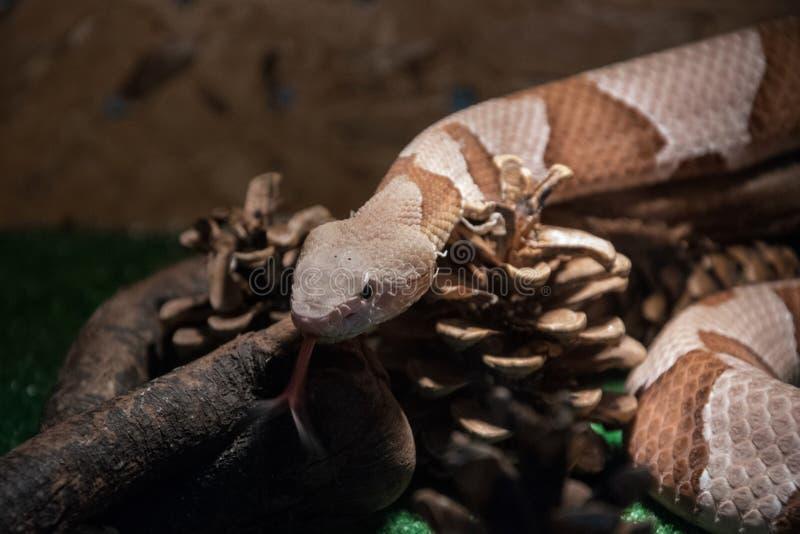 Contortrix d'Agkistrodon de serpent de Copperhead - serpent venimeux exotique images stock