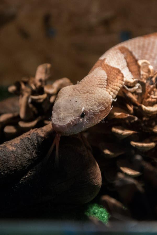 Contortrix d'Agkistrodon de serpent de Copperhead - serpent venimeux exotique photographie stock libre de droits