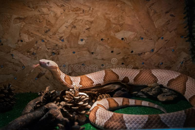 Contortrix del Agkistrodon de la serpiente de Copperhead - serpiente venenosa exótica fotos de archivo