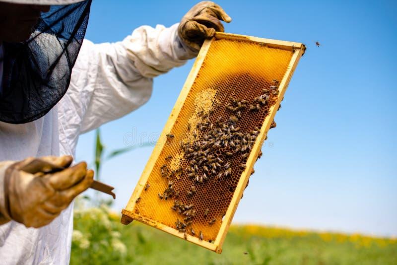 Contrôle de nid d'abeilles par l'apiculteur image libre de droits