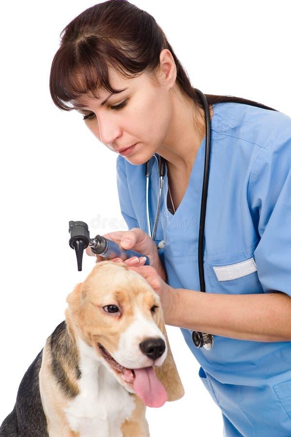 Contrôlez une oreille de chien de examen avec un otoscope D'isolement images stock