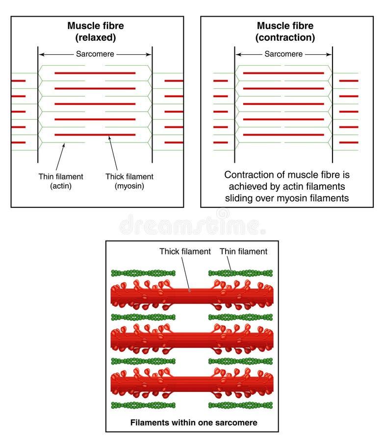 Contracción del músculo stock de ilustración