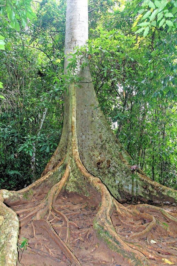 contrafforte della radice dell'albero e pavimento tropicale della foresta fotografia stock libera da diritti