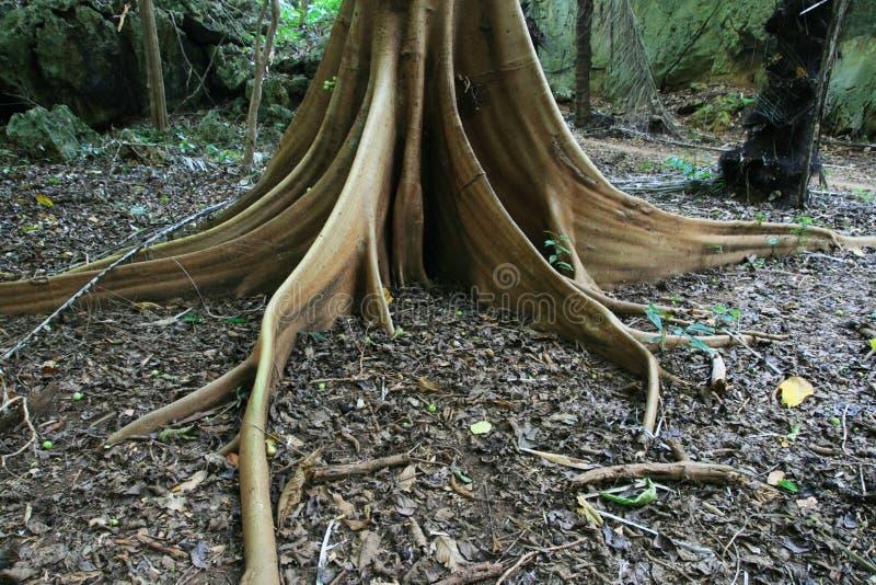 Contrafuerte de la raíz del árbol de higo imagen de archivo libre de regalías