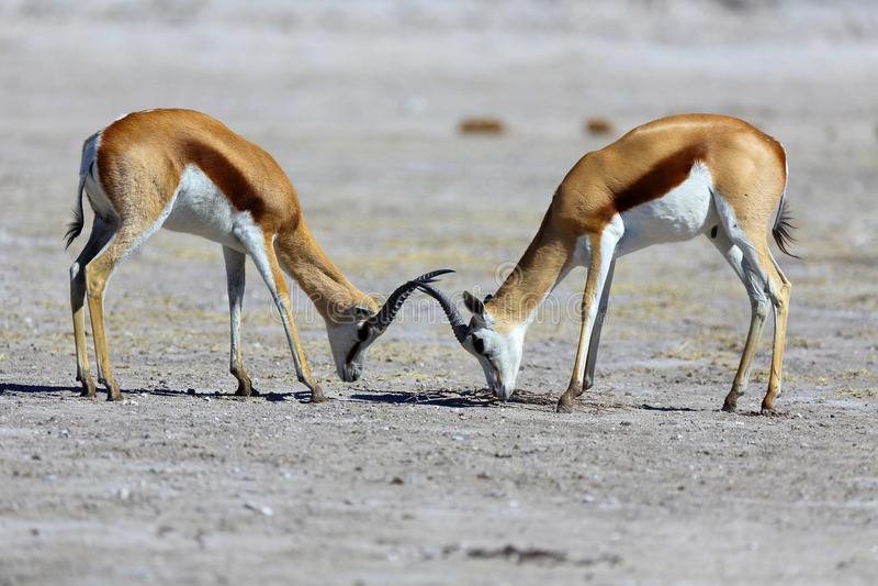 Contrappeso dell'antilope saltante fotografie stock libere da diritti