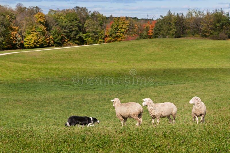 Contrappeso di riserva del cane (border collie) e delle pecore (ovis aries) immagini stock libere da diritti