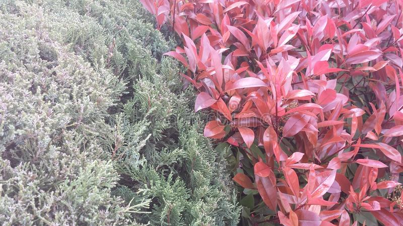 Contrast bushes. A pair red and green stock photography