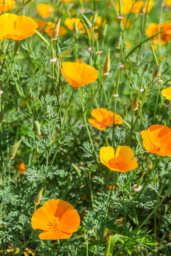 Bright orange Californian poppies with a green background royalty free stock image