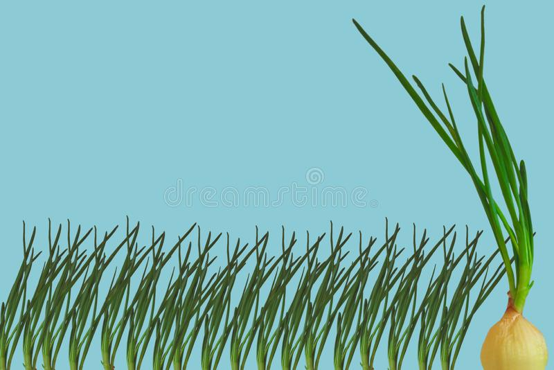Contrast concept. One big green onion with bulb compare group row of small scallions. Organic natural kitchen stock image