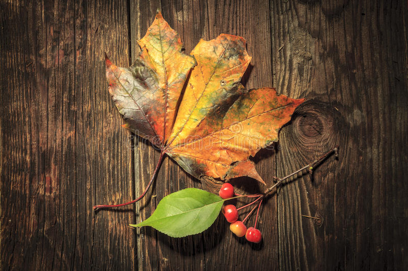 Contrast of maple leaf and crabapples. A close up picture of a yellow maple leaf and a twig of crabapples and a green leaf on old wood boards stock image