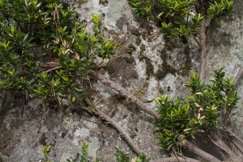 Contrast of Plant with a Stone. At the Bellevue Botanical Garden stock photography