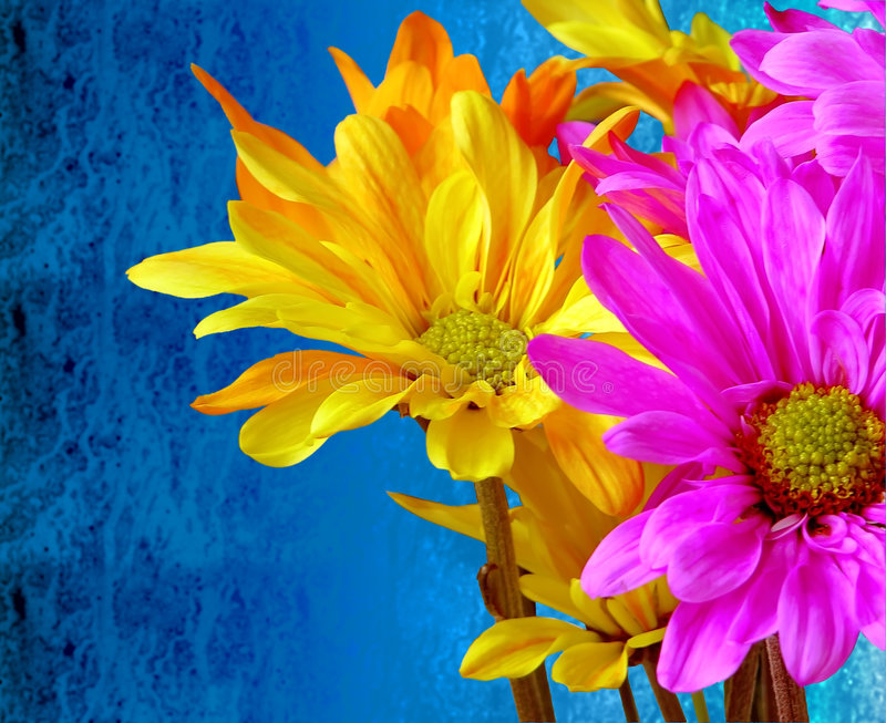 Contrast - Rain or Shine. The texture of a bunch of brightly colored neon glow Crazy Daisy flowers contrast sharply with the dark blue, rain streaked glass stock photography
