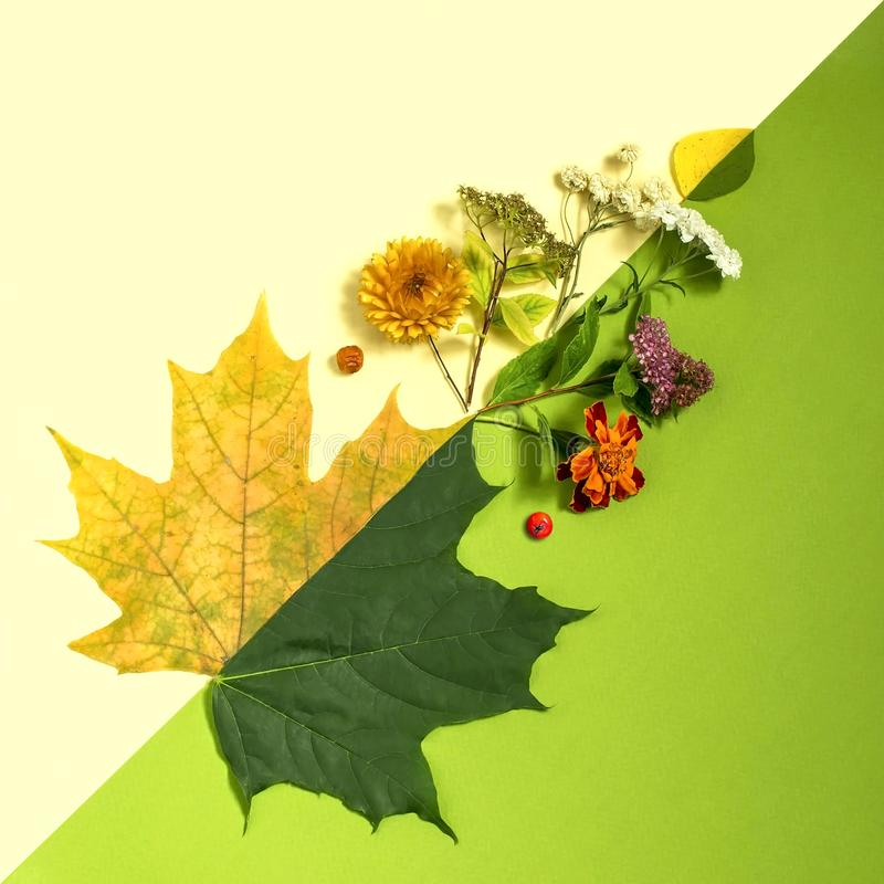 Contrast of summer and autumn on example of leaves and flowers. Concept of seasonal changes. Minimal style stock image