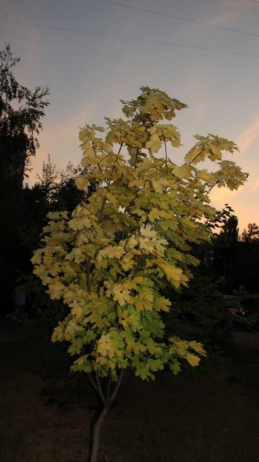 Contraste decorativo del verde amarillo del árbol imagenes de archivo