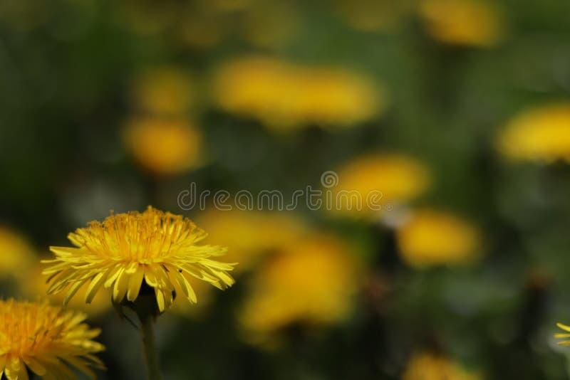 Contraste vert de champ jaune de Dandelion photo stock