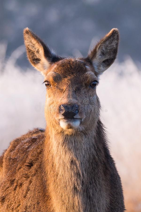 Contrasted Portrait of a Female Red Deer on a Winter Morning stock photography