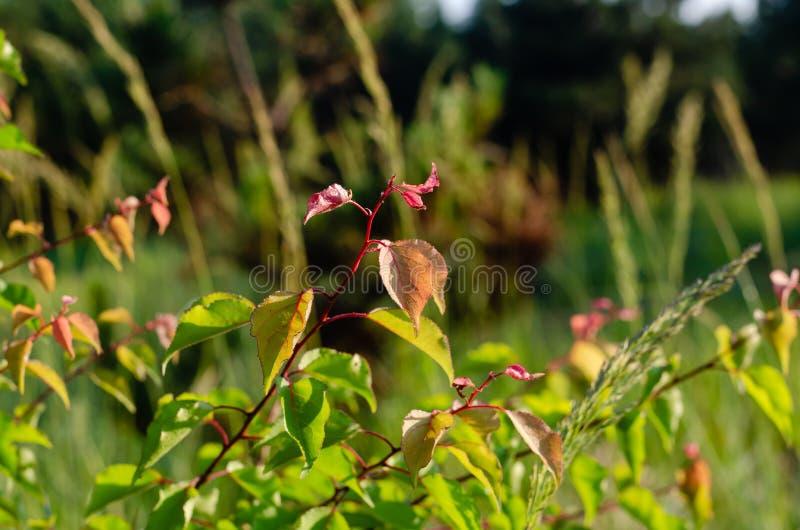 Contrastez le vert juteux et la branche rouge de l'abricot sauvage au soleil Foyer s?lectif photos stock