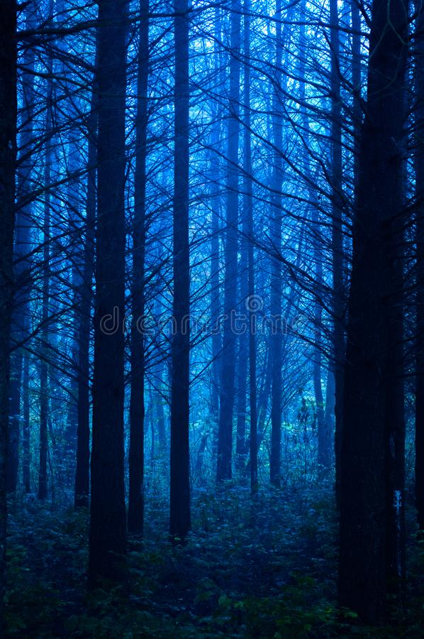 Contrasting morning tree silhouettes in a foggy forest stock photography