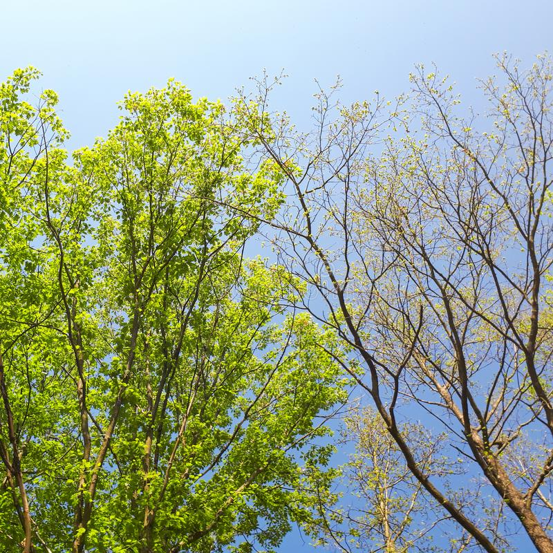 Contrasting trees. Two contrasting trees, one with green leaves and the other with no leaves royalty free stock photography