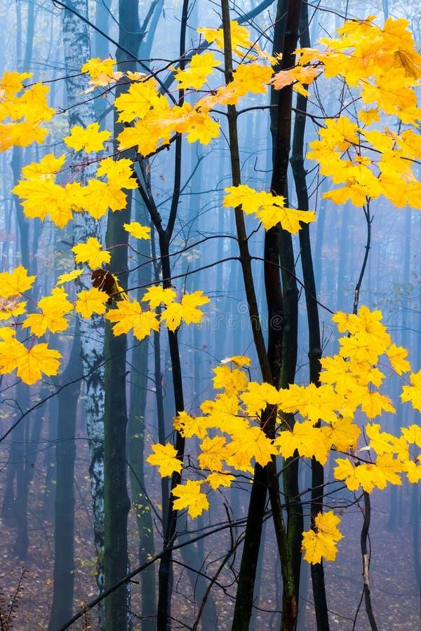 Contrasto delle foglie gialle e della nebbia misteriosa nella foresta europea di autunno fotografia stock libera da diritti
