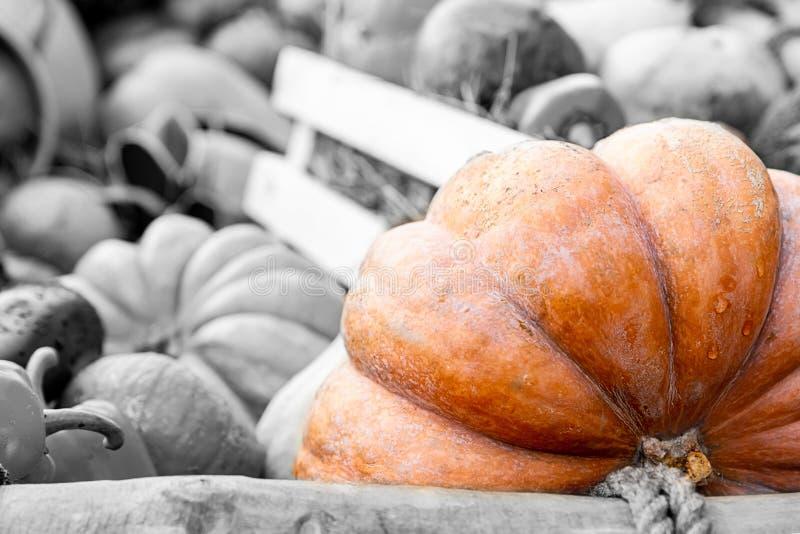 Contrasto speciale costolato della zucca arancio su un fondo di verdure monocromatico tinto immagini stock libere da diritti