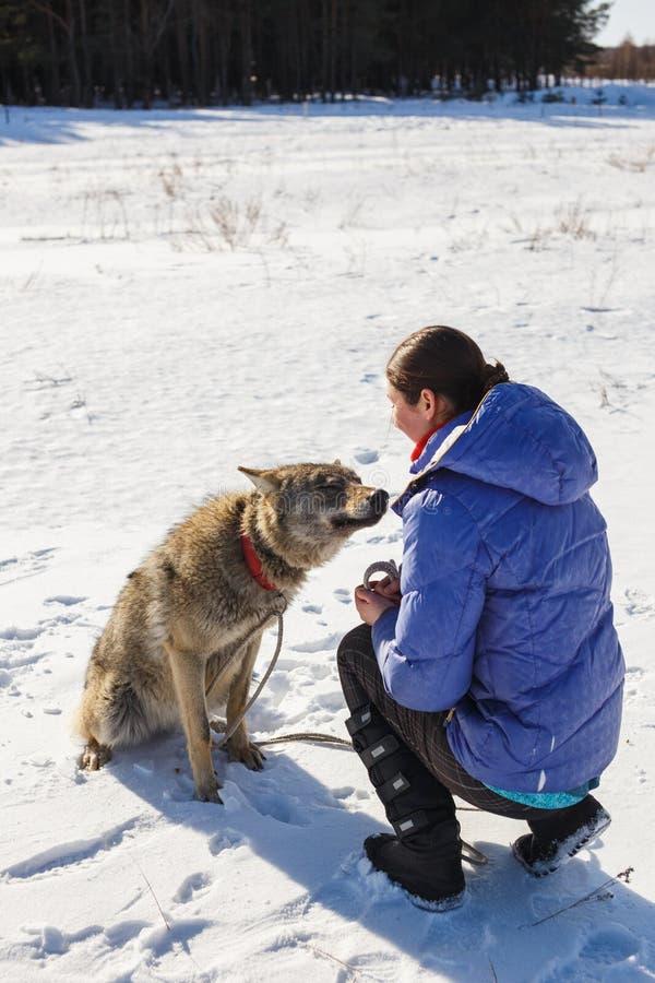 Contratan a la muchacha a entrenar un lobo gris en un campo nevoso y soleado imagenes de archivo