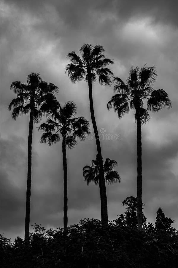 Contre-jour des palmiers au-dessus d'un ciel nuageux Image noire et blanche photos stock