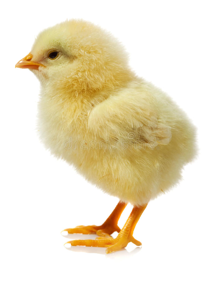 contre le blanc de poulet de fond image libre de droits