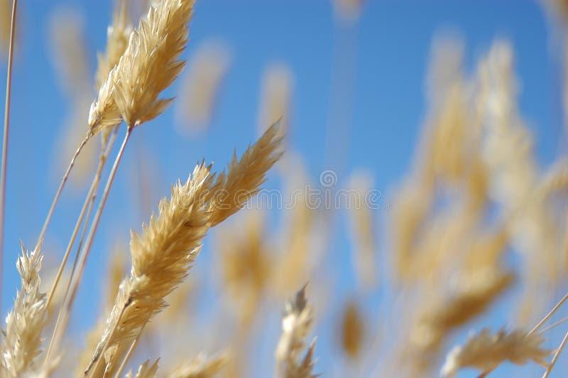 contre le ciel d'or bleu d'herbe image libre de droits