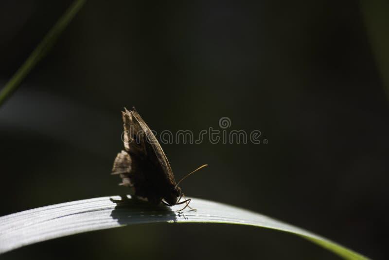 Contrelli f för bicyclus för Bush bruntfjäril harti på det ljust solbelysta bladbladet, Limpopo, Sydafrika arkivfoto