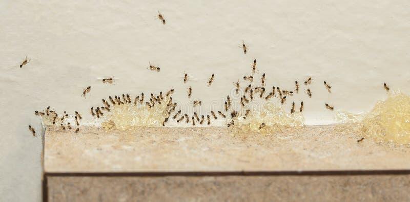 Control de parásito - Sugar Ants Eating Bait foto de archivo